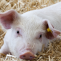 P15 7499 Pig in straw shelter (A1833551)