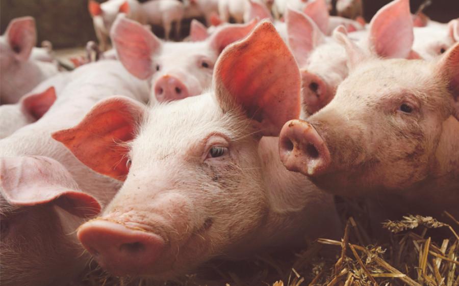 Cómo debe ser la granja de cerdos del futuro?