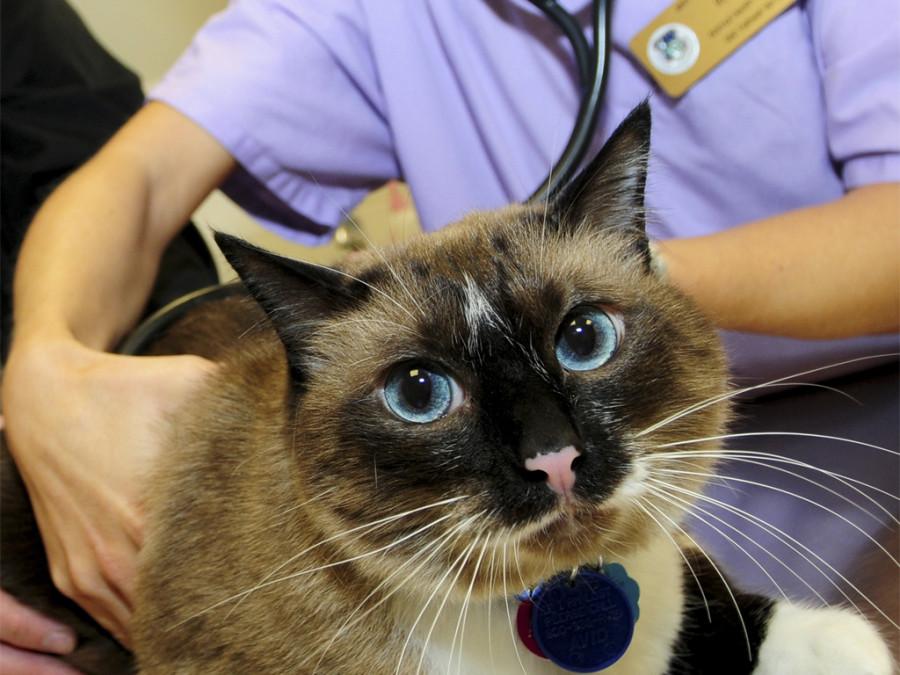 suplementos perdida de desazón gatos veterinarias